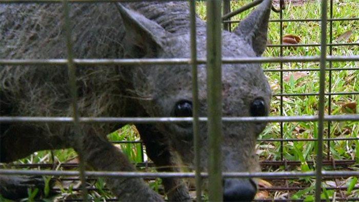 Chupacabra in a cage