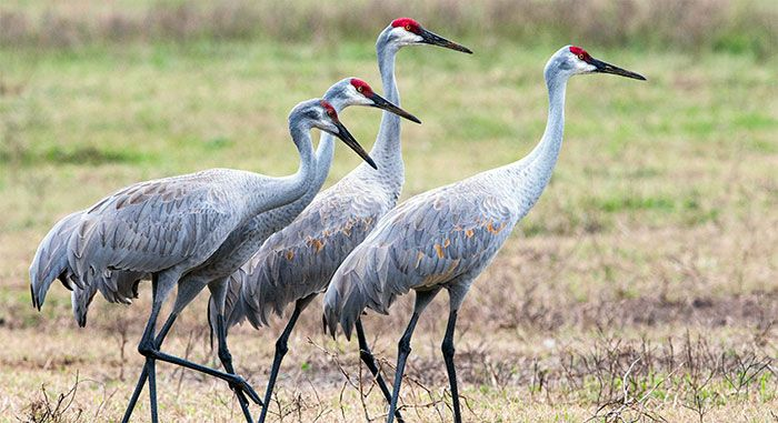 Sandhill Crane - could this be the explanation