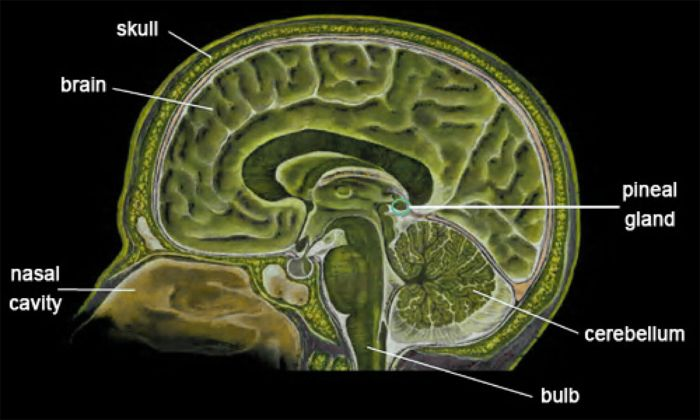 Brain diagram showing the Pineal Gland.