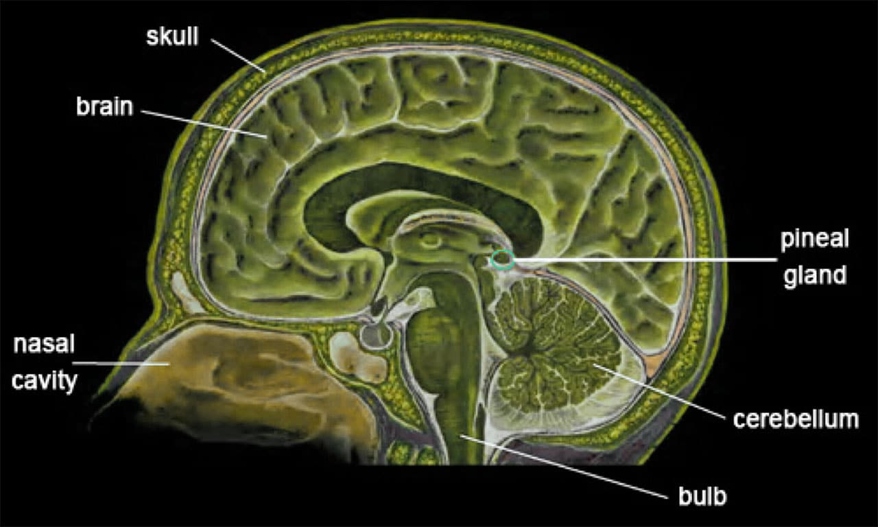 The facts of fluoride something in the water ufo insight brain diagram showing the pineal gland ccuart Gallery