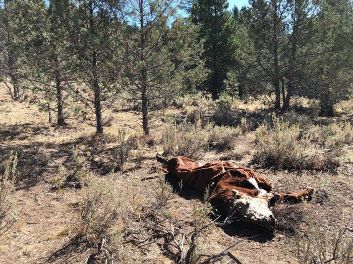 Mutilated cattle