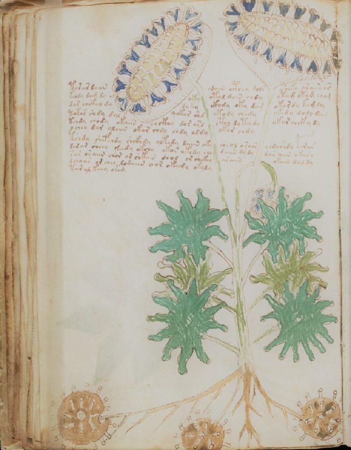 Example of the bizarre plants in the Voynich Manuscript